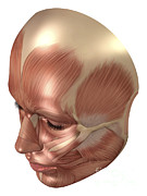 Human Head Art - Anatomy Of Human Face Muscles by Stocktrek Images