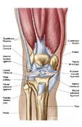 Human Representation Art - Anatomy Of Human Knee Joint by Stocktrek Images