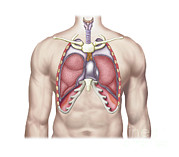Human Body Parts Posters - Anatomy Of Human Lungs In Situ Poster by Stocktrek Images