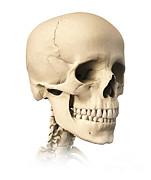 Human Skeleton Art - Anatomy Of Human Skull, Side View by Leonello Calvetti
