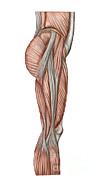 Human Body Parts Posters - Anatomy Of Human Thigh Muscles Poster by Stocktrek Images