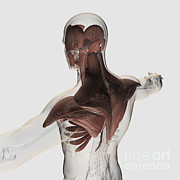 Human Representation Art - Anatomy Of Male Muscles In Upper Body by Stocktrek Images