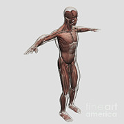 Human Body Parts Posters - Anatomy Of Male Muscular System, Side Poster by Stocktrek Images
