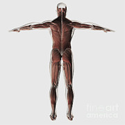 Human Body Parts Posters - Anatomy Of Male Muscular System Poster by Stocktrek Images