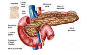 Inferior Vena Cava Posters - Anatomy Of Pancreas Poster by Stocktrek Images