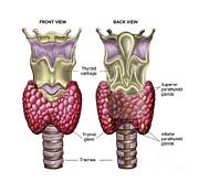 Anatomy Of Thyroid Gland With Larynx & Print by Stocktrek Images