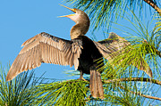 Florida Wild Turkey Prints - Anhinga Print by Millard H. Sharp