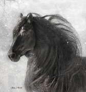 Friesian Framed Prints - Anton 343 Frosty Framed Print by Fran J Scott