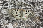 Science Photo Library - Apollo butterfly