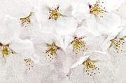Apple Tree Prints - Apple blossoms Print by Elena Elisseeva