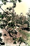 Michelle Calkins - Apple Blossoms