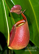Pitcher Plants Posters - Asian Pitcher Plant Poster by Millard H. Sharp