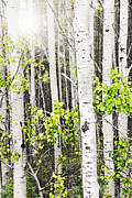 Shining Light Framed Prints - Aspen grove Framed Print by Elena Elisseeva