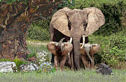 Elephants Digital Art Originals - At mothers side by Ray Simpson