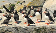 Atlantic Puffin Posters - Atlantic Puffin Colony Poster by John Burk