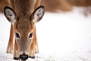 Deer In Snow Prints - Attention Print by Karol  Livote