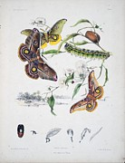 Butterfly Drawings Framed Prints - Australian Butterflies Framed Print by Unknown