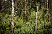 Tim Hester - Australian Forest