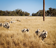 Ovine Framed Prints - Australian Sheep Framed Print by Tim Hester