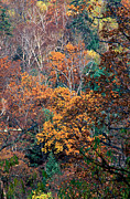 Treetops Prints - Autumn Print by Anonymous