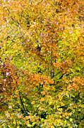 Carolyn Stagger Cokley - autumn gold2558