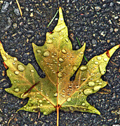 Faa Featured Metal Prints - Autumn Leaf HDR Metal Print by Chris Anderson