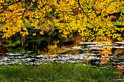 Lilly Pads Framed Prints - Autumn Pond Framed Print by Bill  Wakeley