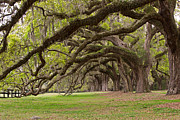 Southern Comfort Prints - Avenue of Oaks Print by Bernard Chen