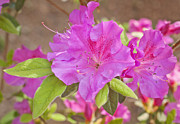 Jonathan Welch Prints - Azalea Print by Jonathan Welch