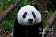 Mark Newman - Baby Giant Panda