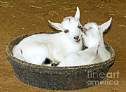 Sleeping Animal Framed Prints - Baby Goats Lying In Food Pan Framed Print by Millard H. Sharp