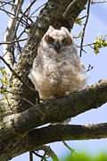 Deb Kline - Baby Great Horned Owl