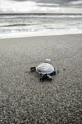 Thomas Chamberlin - Baby Green Sea Turtle