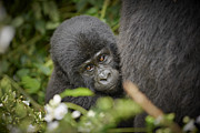 Ape Photo Originals - Baby Mountain Gorilla  by Juergen Ritterbach