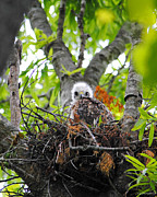 Red-shouldered Hawk Photos - Baby Red Shouldered Hawk in Nest by Jai Johnson