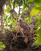 Red Shouldered Posters - Baby Red Shouldered Hawk Poster by Jai Johnson