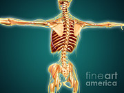 Musculocutaneous Nerves Posters - Back View Of Human Skeleton Poster by Stocktrek Images