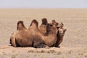 Camels Photos - Bactrian Camels in the Gobi Desert by Alan Toepfer