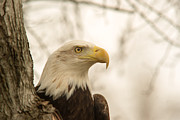 National Bird Framed Prints - Bald Eagle 2 Framed Print by Douglas Barnett