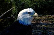 Cheryl Cencich - Bald Eagle