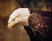 Marion McCristall - Bald Eagle