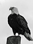 American Bird Posters - Bald Eagle Poster by Robert Bales