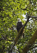 Sylvia Hart - Bald Eagle