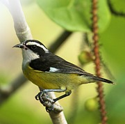 Birds On A Branch Posters - Bananaquit On A Perch Poster by Adam Jewell