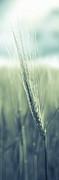 Hannes Cmarits - barley