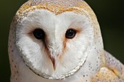 Thomas Photography  Thomas - Barn Owl