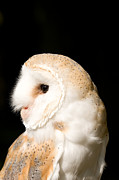 Paul Lilley Metal Prints - Barn Owl - Tyto alba Metal Print by Paul Lilley