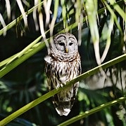 Bill Hosford - Barred Owl