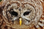 Thomas Photography  Thomas - Barred Owl