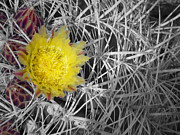 Linda Dunn Art - Barrel Cactus Bloom by Linda Dunn